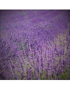 Argan Lavender